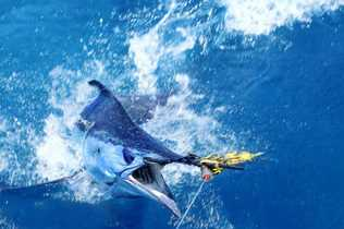 Awesome marlin near Fremantle