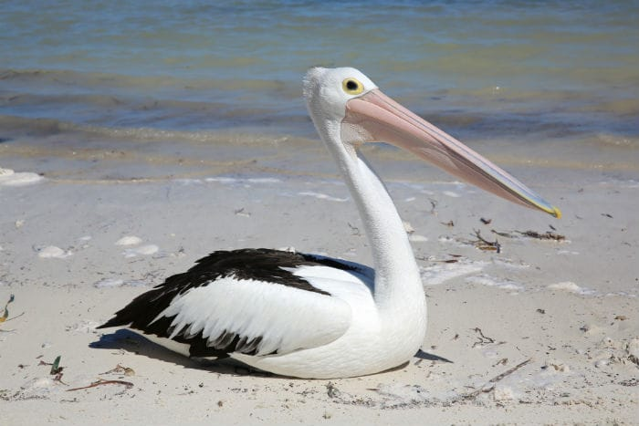 Pelican on Beach