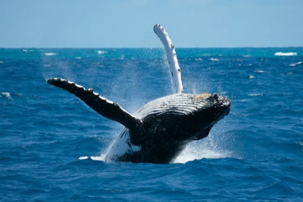 Humpback in action